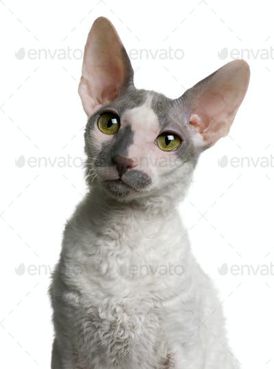 Cornish rex kitten, 4 months old, in front of white background