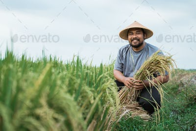 smiling asian farmer during harvesting paddy rice