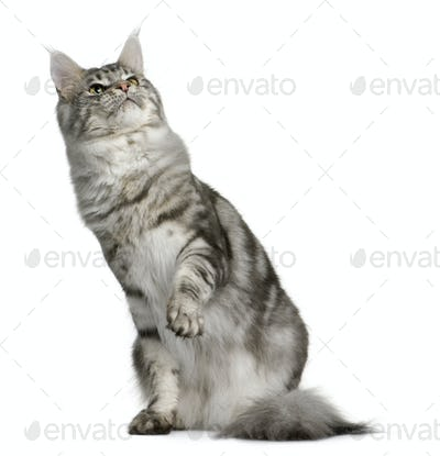 Maine Coon, 1 year old, sitting with one paw up and looking up in front of white background