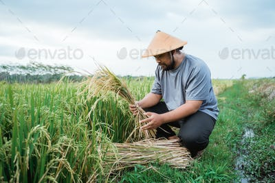 farmer counting his rice grain while harvesting