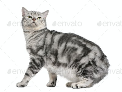 British shorthair cat, 15 months old, in front of white background
