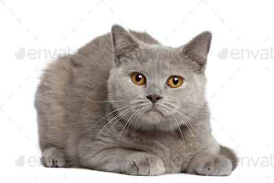 British shorthair cat, 12 months old, sitting in front of white background