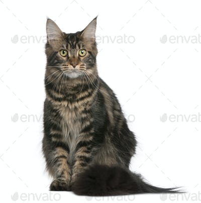 Maine coon, 9 months old, sitting in front of white background