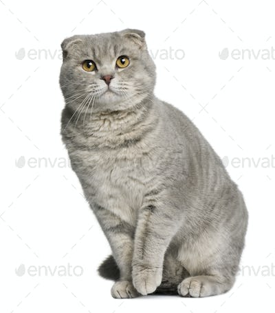 Scottish fold cat, 8 months old, sitting in front of white background