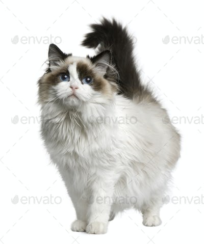 Ragdoll cat, 7 months old, standing in front of white background