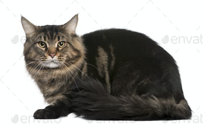 Maine coon, 20 months old, sitting in front of white background
