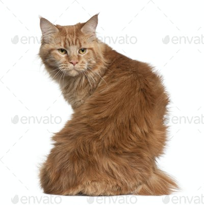 Maine coon, 15 months old, sitting in front of white background