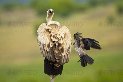 Griffon vulture being attacked by crow in summer nature