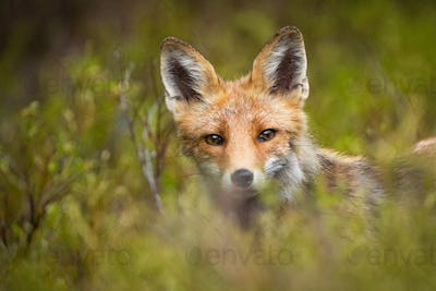 Red fox peeking out from green vegetation in mountains
