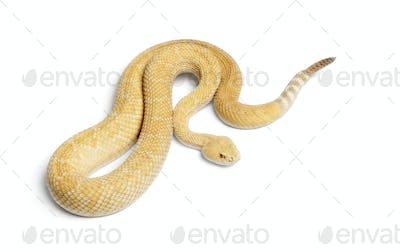 albinos western diamondback rattlesnake - Crotalus atrox, poisonous, white background