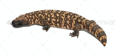 Gila monster - Heloderma suspectum, poisonous, white background