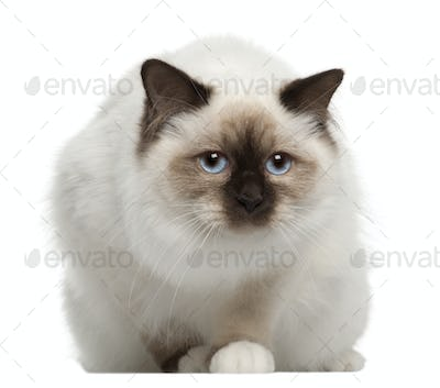 Portrait of Birman cat, sitting in front of white background