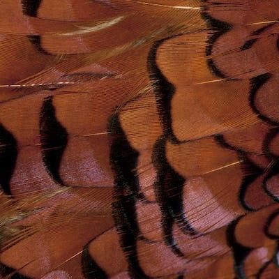 Close up of Male European Common Pheasant, Phasianus colchicus, feathers