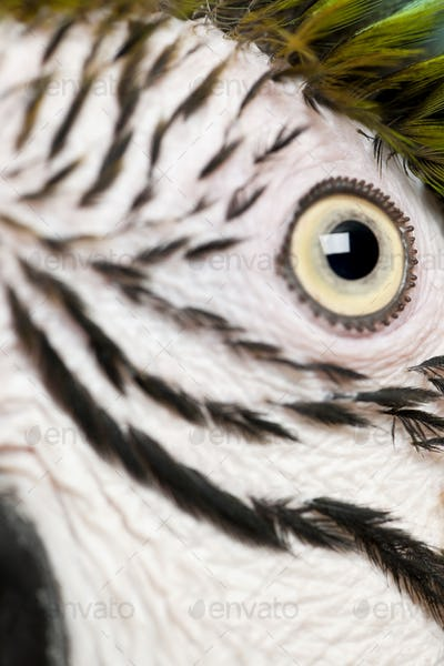 Close up of Blue and Yellow Macaw, Ara Ararauna, eye