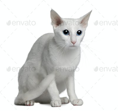 Oriental foreign white cat, 1 year old, sitting in front of white background