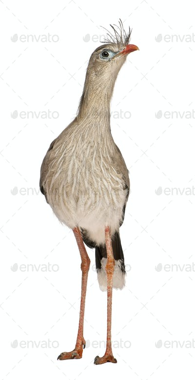 Portrait of Red-legged Seriema or Crested Cariama, Cariama cristata, standing