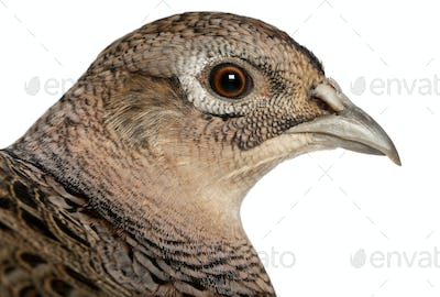 Portrait of Female Golden Pheasant or 'Chinese Pheasant', Chrysolophus pictus