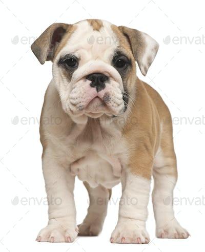 English Bulldog puppy, standing, 2 months old