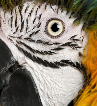 Portrait of Blue and Yellow Macaw, Ara Ararauna, eye