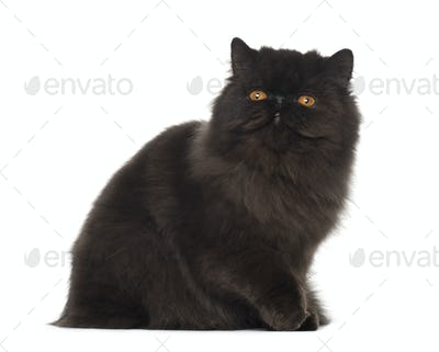 Persian cat, 7 months old, sitting in front of white background