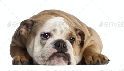 English Bulldog, 7 months old, in front of white background