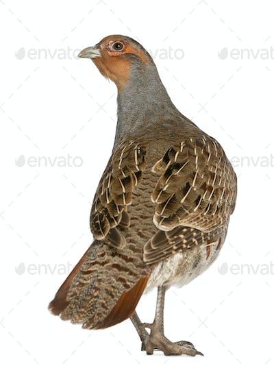 Grey Partridge, Perdix perdix, also known as the English Partridge, Hungarian Partridge