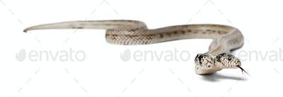 two headed eastern kingsnake - Lampropeltis getula californiae, white background