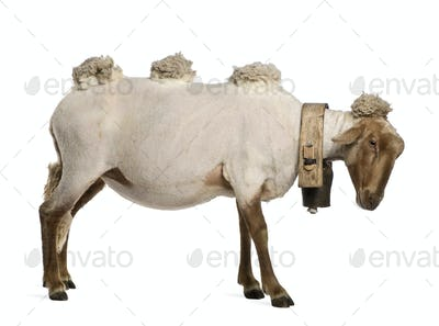 Side view of Mourerou sheep wearing bell in front of white background