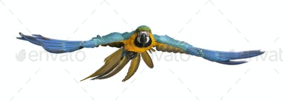Portrait of Blue and Yellow Macaw, Ara Ararauna, flying in front of white background
