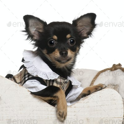 Chihuahua puppy, 6 months old, in Christmas sleigh in front of white background