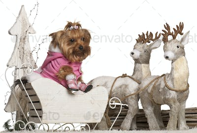 Yorkshire Terrier, 4 years old, in Christmas sleigh in front of white background