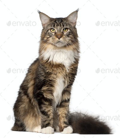 Portrait of Maine Coon cat, 10 months old, sitting in front of white background