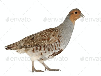 Grey Partridge, Perdix perdix, also known as the English Partridge, Hungarian Partridge, or Hun