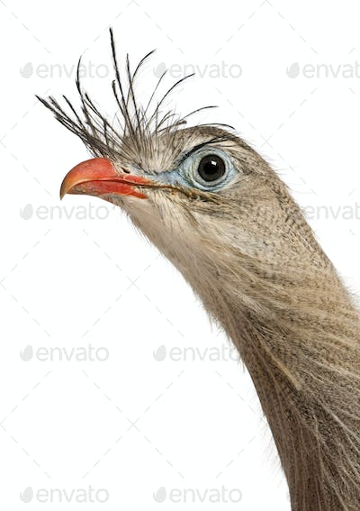 Portrait of Red-legged Seriema or Crested Cariama, Cariama cristata, in front of white background