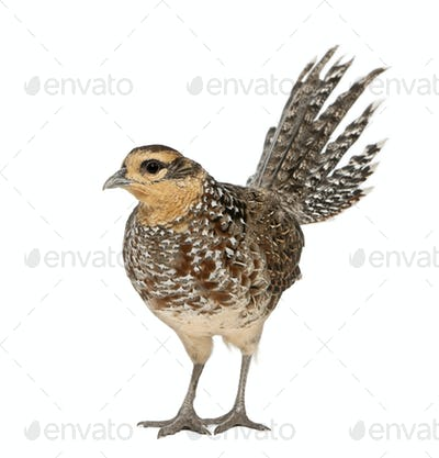Female Reeves's Pheasant, Syrmaticus reevesii, can grow up to 210 cm long,, standing