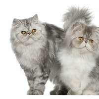Persian cat, 7 months old,, sitting in front of white background