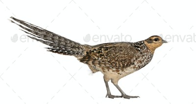 Female Reeves's Pheasant, Syrmaticus reevesii, can grow up to 210 cm long