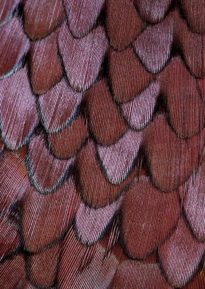 Close up of Male European Common Pheasant, Phasianus colchicus, feathers