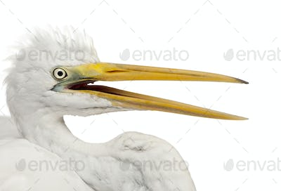 Close up of Great Egret or Great White Egret or Common Egret, Ardea alba