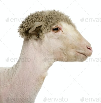 Close-up partially shaved Merino lamb, 4 months old, in front of white background