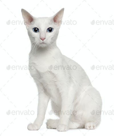 Portrait of Oriental Shorthair cat, 3 years old, sitting in front of white background