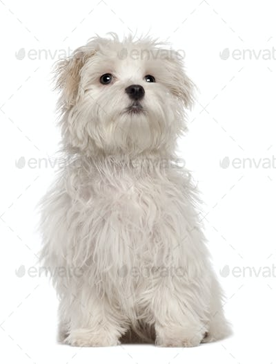 Maltese puppy, 5 months old, sitting in front of white background