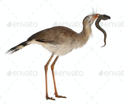 Red-legged Seriema or Crested Cariama, Cariama cristata