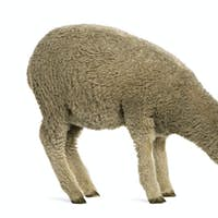 Merino lamb, 4 months old, standing in front of white background