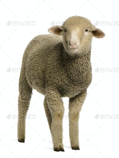 Merino lamb, 4 months old, portrait, in front of white background