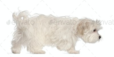 Maltese puppy, 5 months old, in front of white background