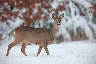Roe deer, capreolus capreolus, in deep snow in winter