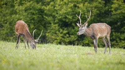 Two red deer stags grazing on green meadow in nature