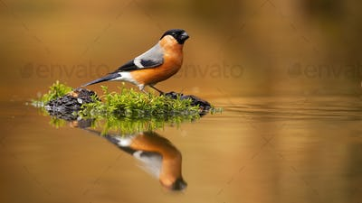 Male eursian bullfinch, pyrrhula pyrrhula, sitting near water with copy space