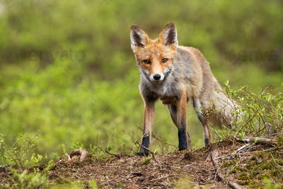 Front low angle view of a wild red fox standing on a horizon in mountains